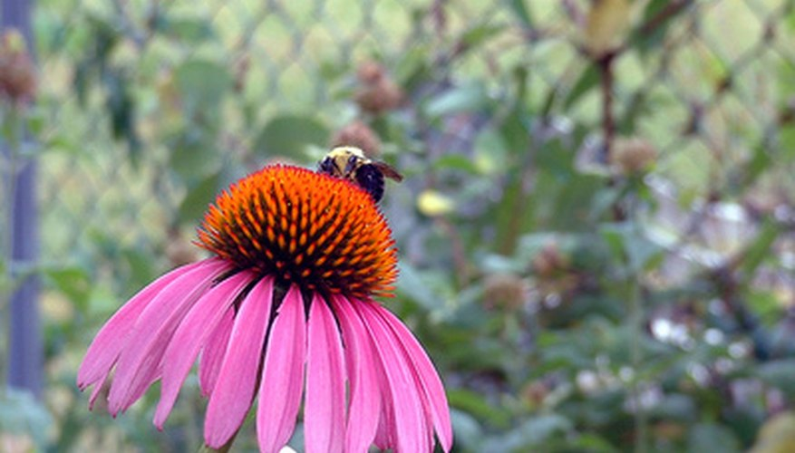 Bees are attracted to purple coneflowers.