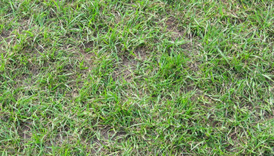 A patchy lawn can be made fuller by overseeding.