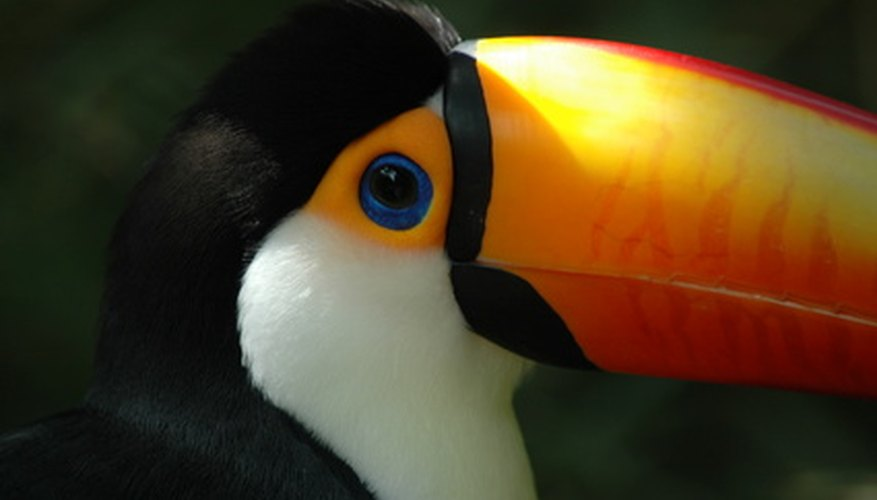 The toucan's colorful beak attracts mates.
