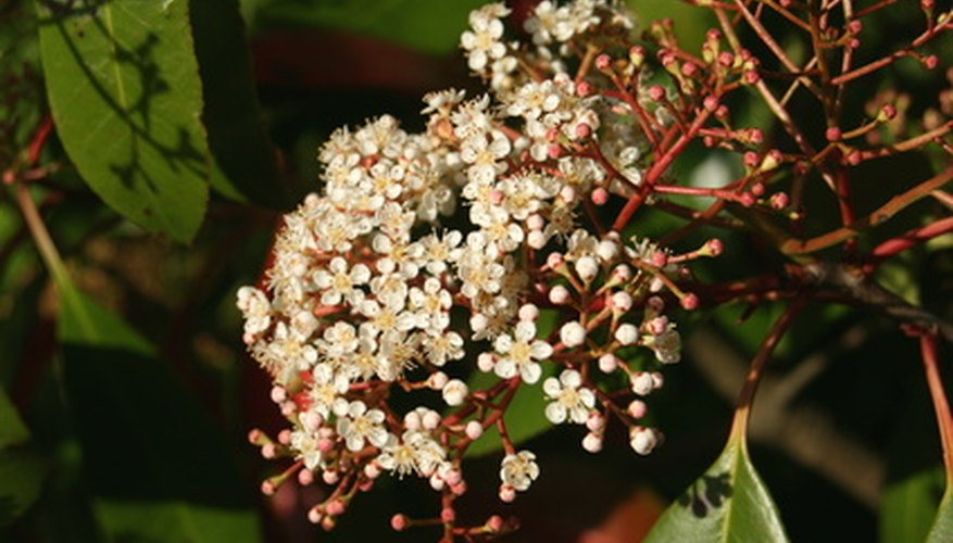 Red-tip photinia blooms in clusters of small, white flowers.