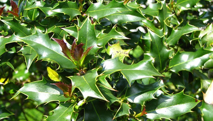 Foliage of a dwarf holly bush.