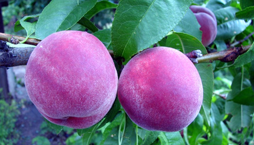 Peaches ripen best on the tree.