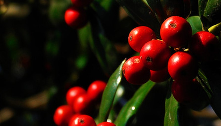 Ripe red holly berries.