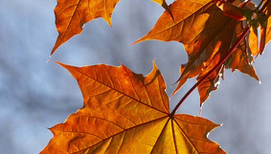 Maple leaves have three to five lobes and turn bright red hues in the fall.