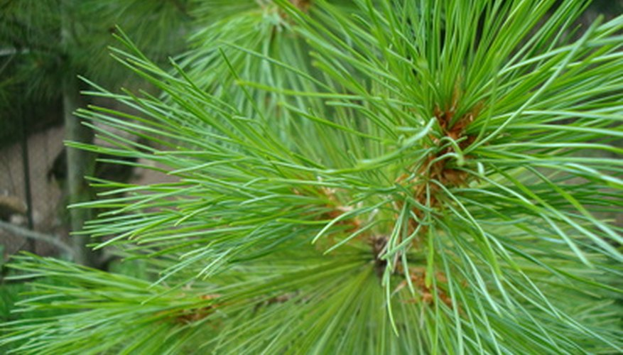Pine trees bear cones instead of fruit.