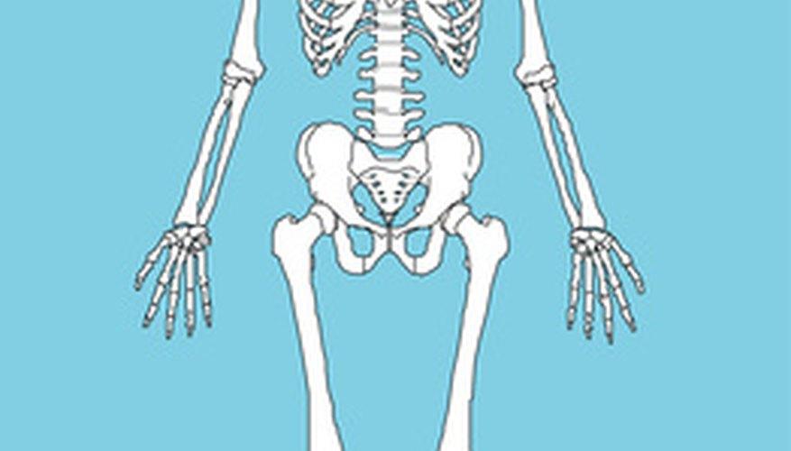 El esqueleto.