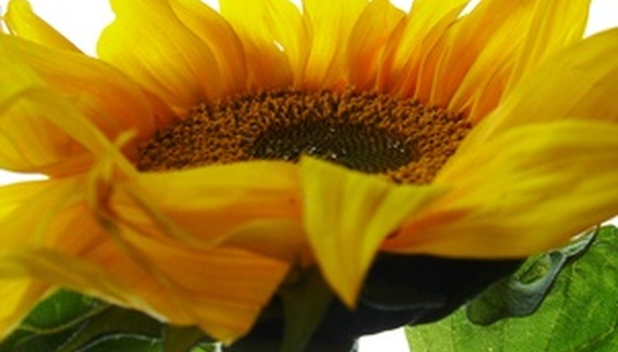 Sunflower seeds contain a high amount of vitamin E.