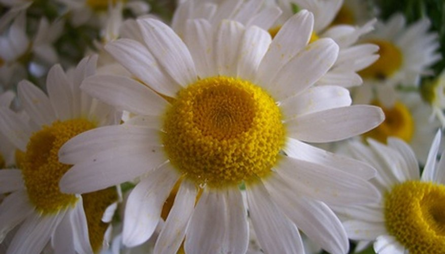 Daisies are composite flowers.