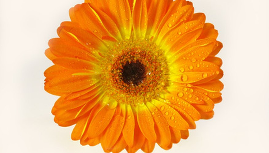The gerber daisy has the power to draw you in.