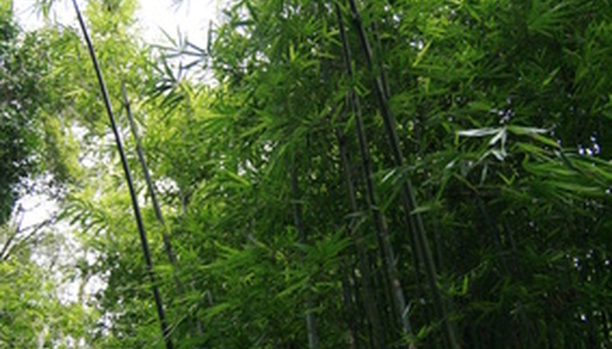 Bamboo plants provide shade.