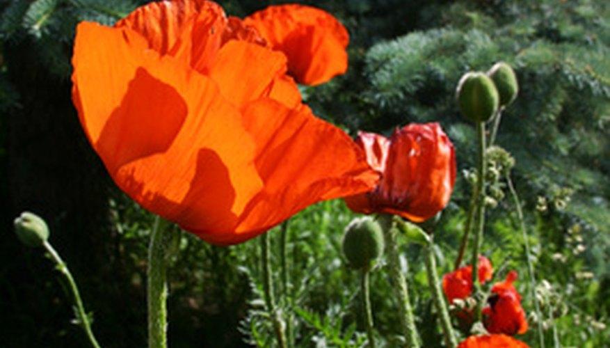 Types of desert flowers garden guides arizona poppies in bloom mightylinksfo