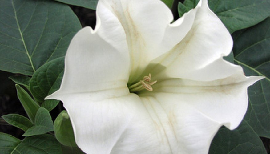 Moonflowers look brilliant white in the night landscape.