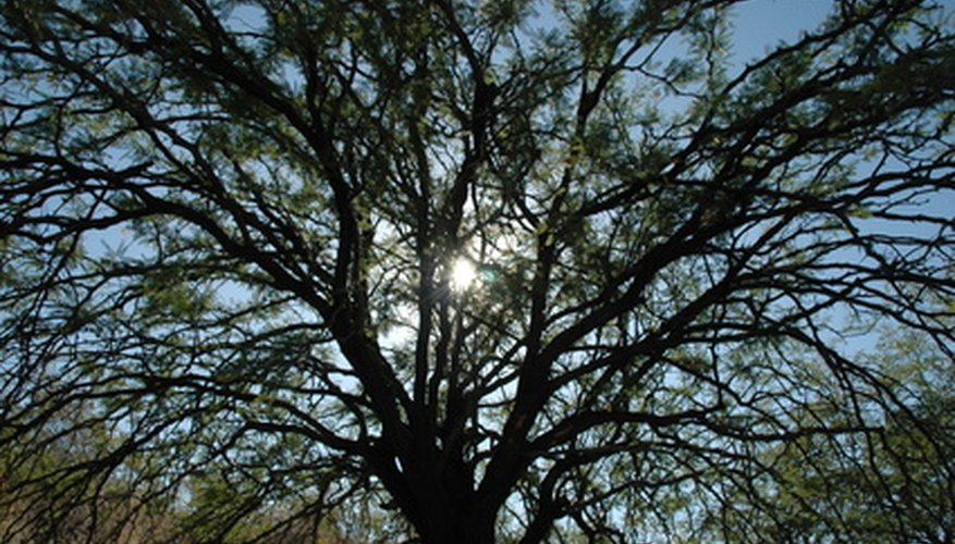 The bark of the palo verde can conduct photosynthesis.
