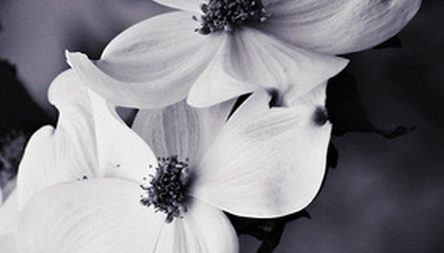 The dogwood is one of spring's most beautiful flowering trees.