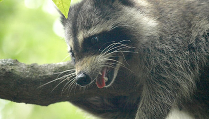 Raccoons enjoy fishing from garden ponds.