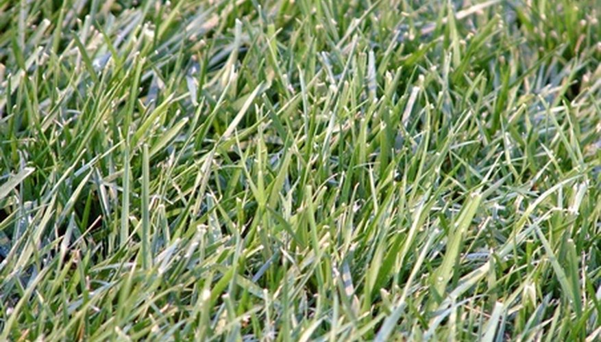 Vaughn's Bermuda grass grows best in warm climates.