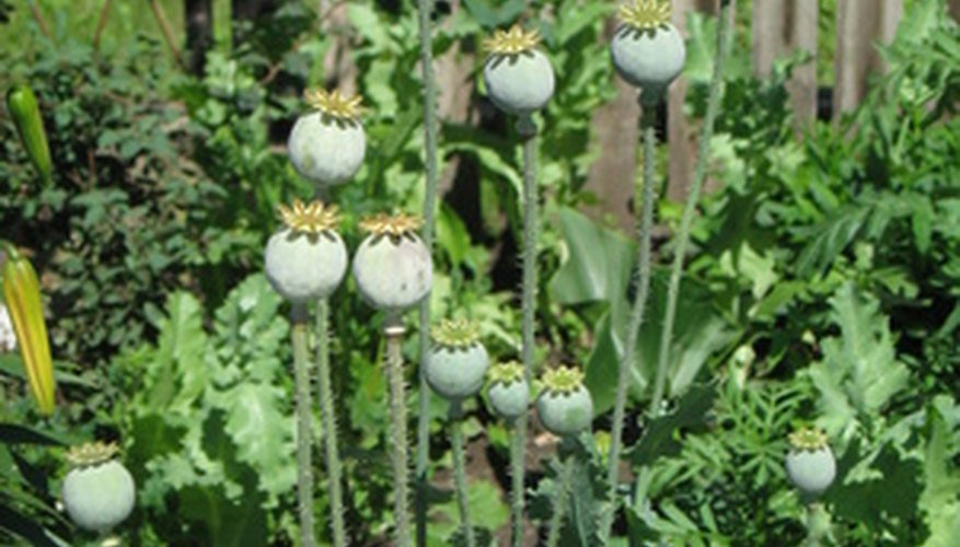 Identify poppies when they're blooming, not afterward.