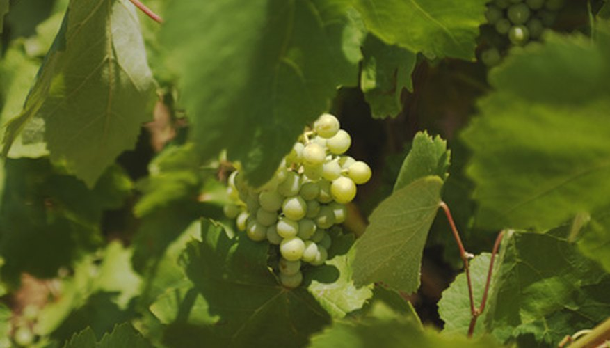 Diseases of grape vines can lead to crop loss.