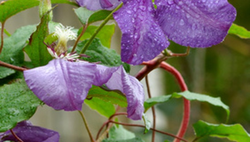 Clematis jackmanii is in full bloom in August.
