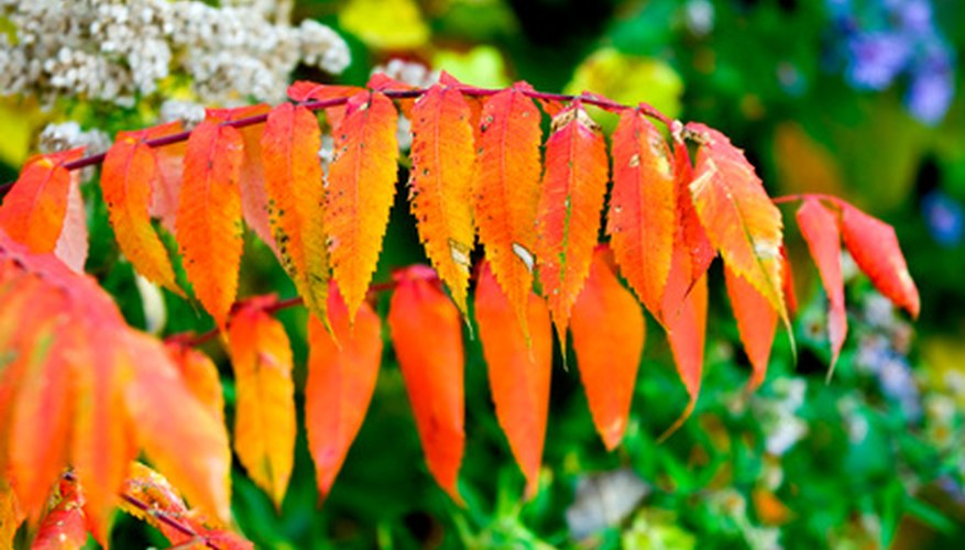 Smooth sumacs feature brilliant fall color.