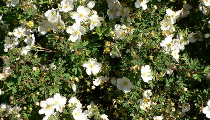 Various shrubs with white flowers thrive in Florida gardens.
