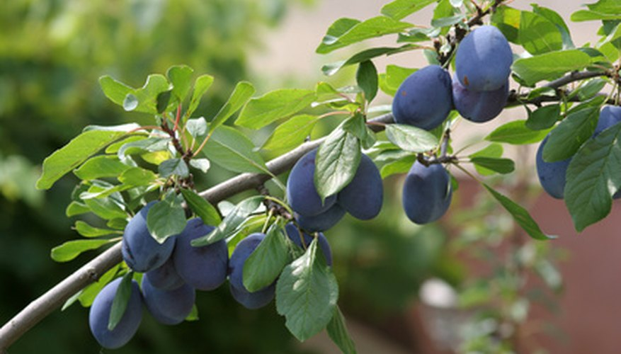 Rejuvenate old plum trees with careful pruning.
