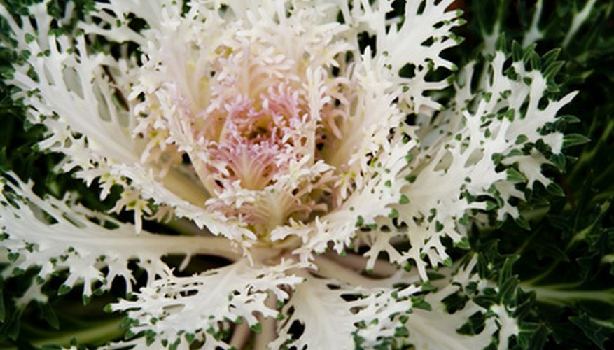 Flowering cabbage as it changes from white to pink