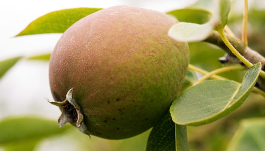 Asian pears resemble apples more than European pears.