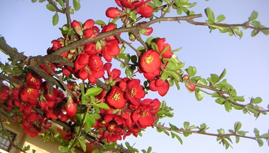 Crabapples produce colorful blossoms in the spring.