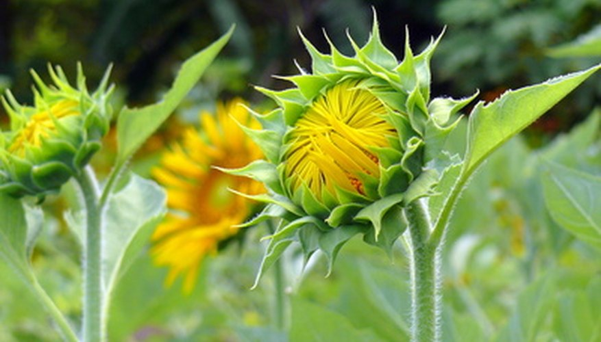 What look like prominent green sepals protecting an opening sunflower are actually bracts.