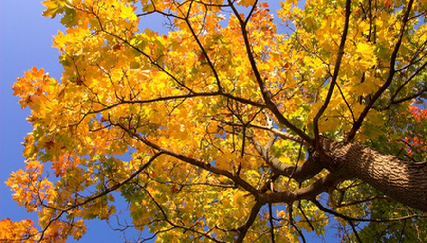 Fall foliage on a sugar maple tree