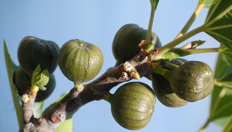 Wrap a fig tree to protect it during the winter.