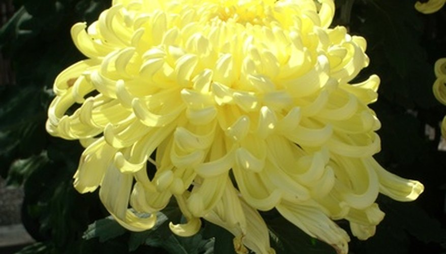 Chrysanthemums are showy flowers native to Japan.