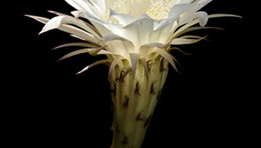 Night blooming cereus blooms at night.