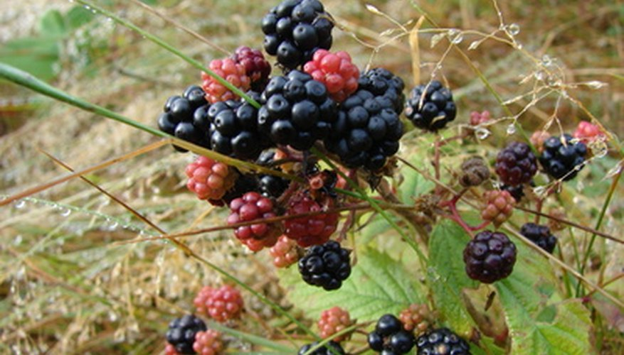 You can grow blackberries in Saskatchewan.