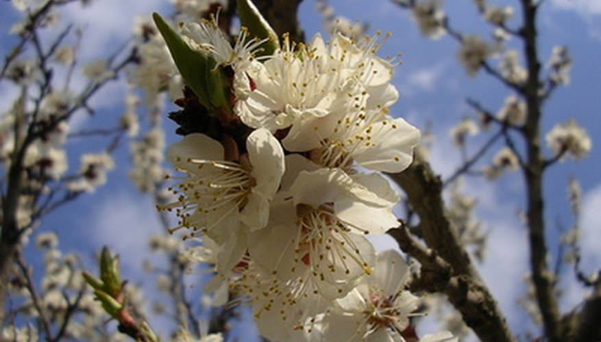 Westcot apricot trees bear white flowers.