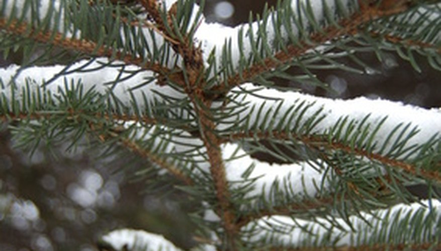 Spruce trees are adapted to cold areas.