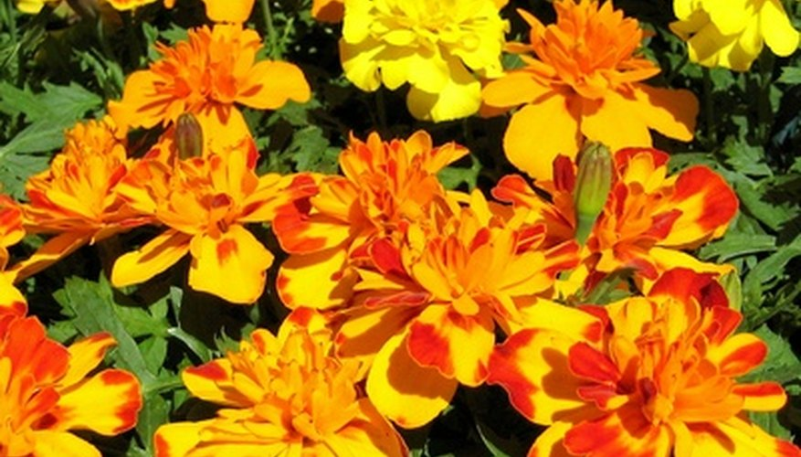 Marigolds lend a cheery color to the herb garden and deter pests.