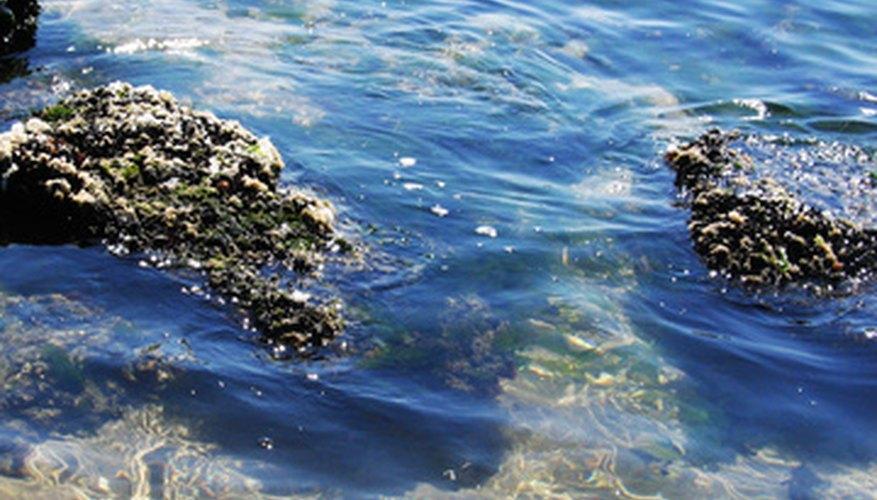 Las algas verdiazules son un tipo de bacteria.