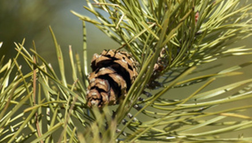 The thick, evergreen needles on pine trees create heavy shade underneath them.