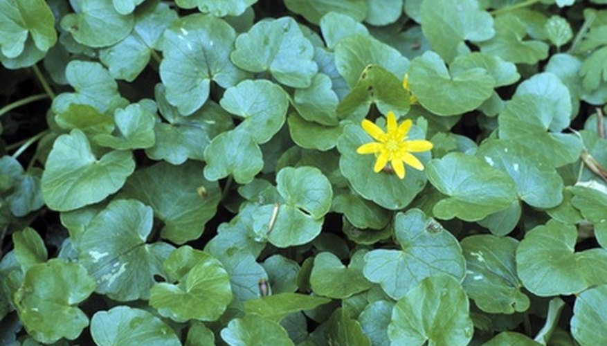 Lesser celandine plants make excellent ground covers.
