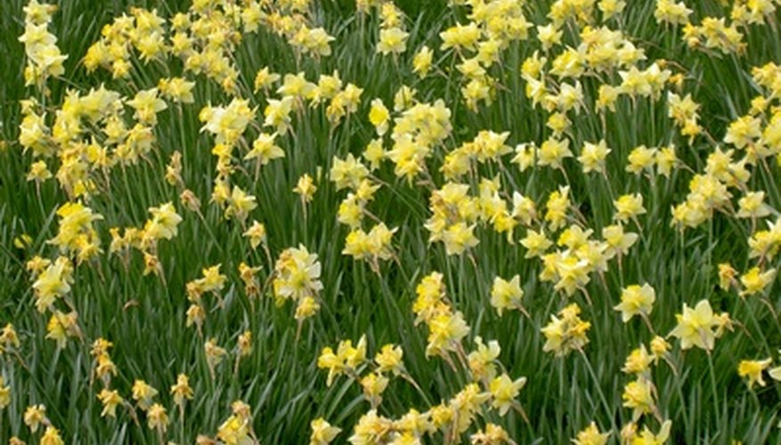 Daffodils are also a symbol of hope.