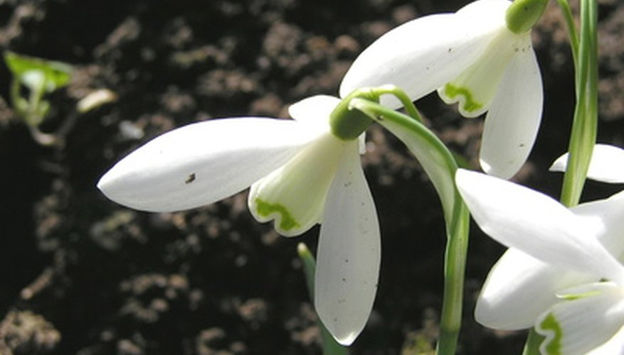 Snowdrops are great for rock gardens.