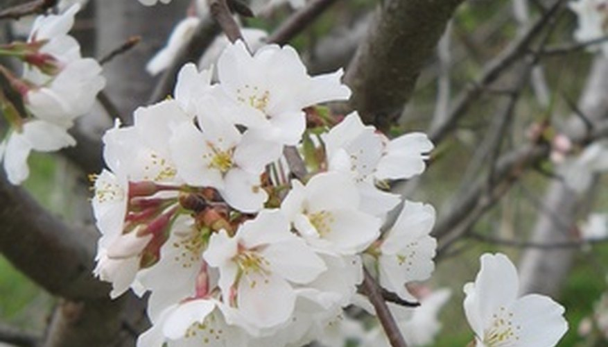 Flowering Trees Of Indiana Garden Guides