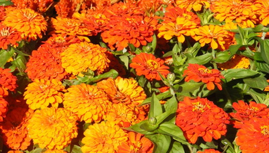 Bed of reflex chrysanthemums