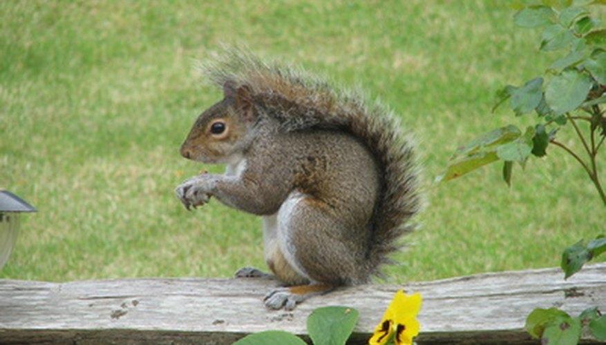 Gray squirrels are native to North America.