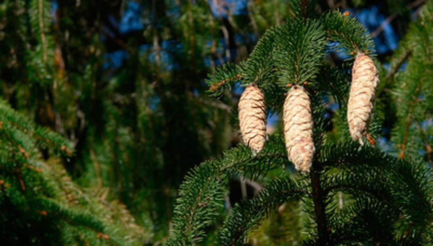 Pitch pine tree (Pinus rigida)
