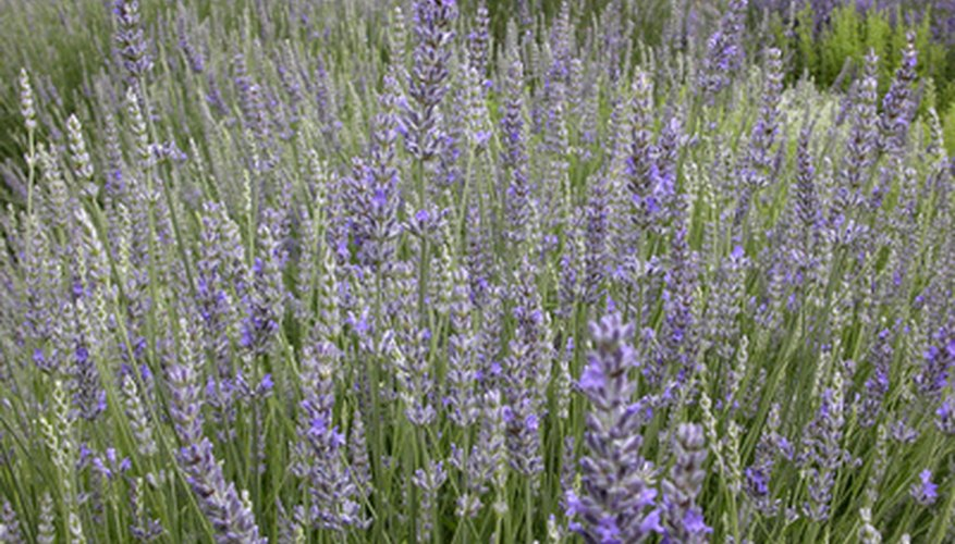 Lavender is well-known by its spikes of purple flowers and pleasant scent.