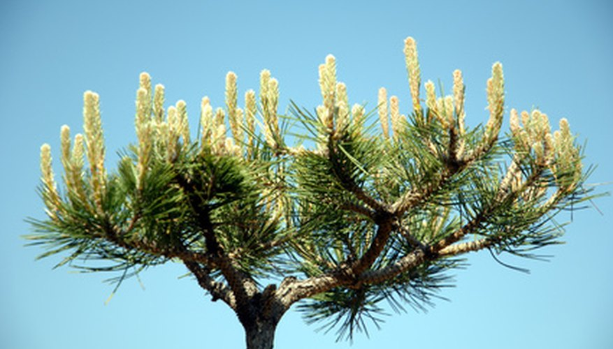 Reduce the pine bonsai's candles in the early spring.