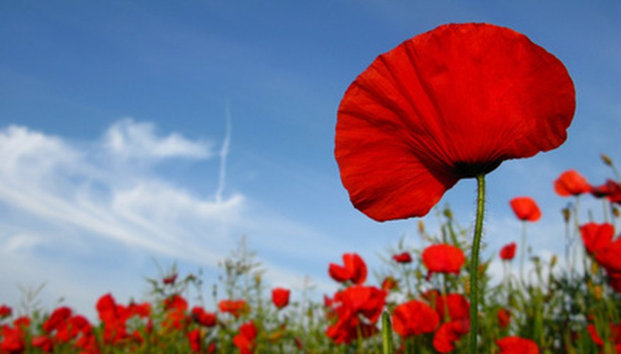 Red poppies have a rich history.